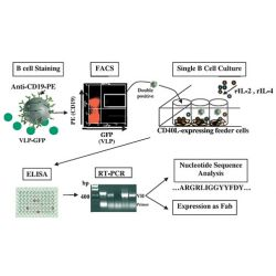 CD40L Expressing Feeder Cell Line (EL-4-5B)