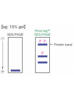 Phos-tag Reagent for SDS-PAGE gel